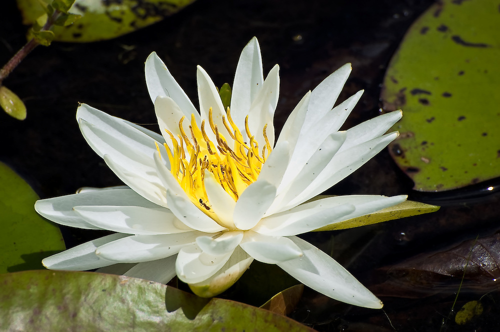 Water Lily with Fire Ant