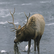 Elk (Cervus canadensis) bull feeding on river grasses in the winter in Yellowstone Naional Park, Wyoming.