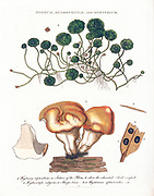 Hydnum [Fungi], Hydrocotyle [water pennywort] and Hysterium Coloured Copperplate engraving From the Encyclopaedia Londinensis or, Universal dictionary of arts, sciences, and literature; Volume X;  Edited by Wilkes, John. Published in London in 1811