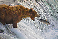 An unlucky sockeye falls into the waiting jaws of a male grizzly, who had fought off the other challengers to take the this prized spot for himself.