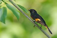 American Redstart - Setophaga ruticilla - Adult male