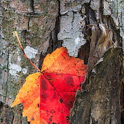 Red leaf caught in rough tree bark before falling to the ground. Image placed in Top 25 in 2015 juried Macro photography competition by Chasing the Light.