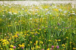 Ox eye daisies, Red clover and Bird's foot trefoil in the Wild Flower meadow. Leucanthemum vulgare, Trifolium pratense, Lotus corniculatus