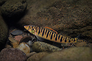 Mobile Logperch<br /> <br /> Isaac Szabo/Engbretson Underwater Photography