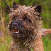 20201212 Amber Cairn Terrier