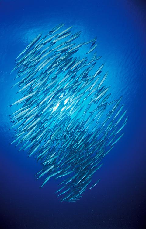 large school of blackfin barracuda (Sphyraena qenie) silhoutted against the sun, Maamigili Outside reef, South Ari Atoll