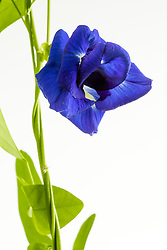 Blue Butterfly Pea, clitoria ternatea#10