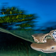 A lemon shark pup (Negaprion brevirostris), only six months old, hunting in the mangrove creek she calls home at dusk in The Bahamas.