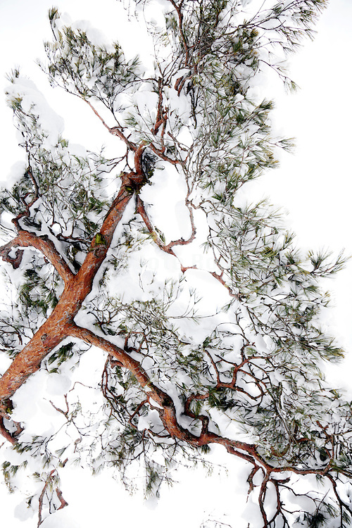 large branch covered with snow of an red pine tree in Japan