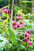 Alpine wildflower, Photographed in Austria, Tyrol