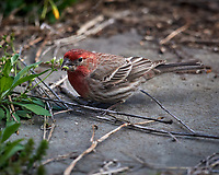 House Finch. Image taken with a Nikon D5 camera and 600 mm f/4 VR lens (ISO 560, 600 mm, f/5.6, 1/1250 sec)