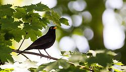 THEMENBILD - ein Vogel auf einem Ast an einem sonnigen Frühlingstag, aufgenommen am 25.Mai 2016, Innsbruck, Österreich // a bird on a bough of a tree on a sunny spring day in Innsbruck, Austria on 2016/05/25. EXPA Pictures © 2016, PhotoCredit: EXPA/ Jakob Gruber