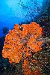 orange elephant ear sponge, Agelas clathrodes, Family: Demospongiae, West End, Grand Bahama, Bahamas, Caribbean Sea, Atlantic Ocean