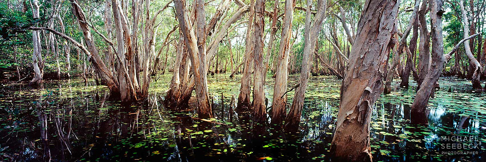 Morning light permeates a stand of paperbarks in a lagoon in inland Far North Queensland.<br /> <br /> Code: HAQT0008<br /> <br /> Limited Edition print