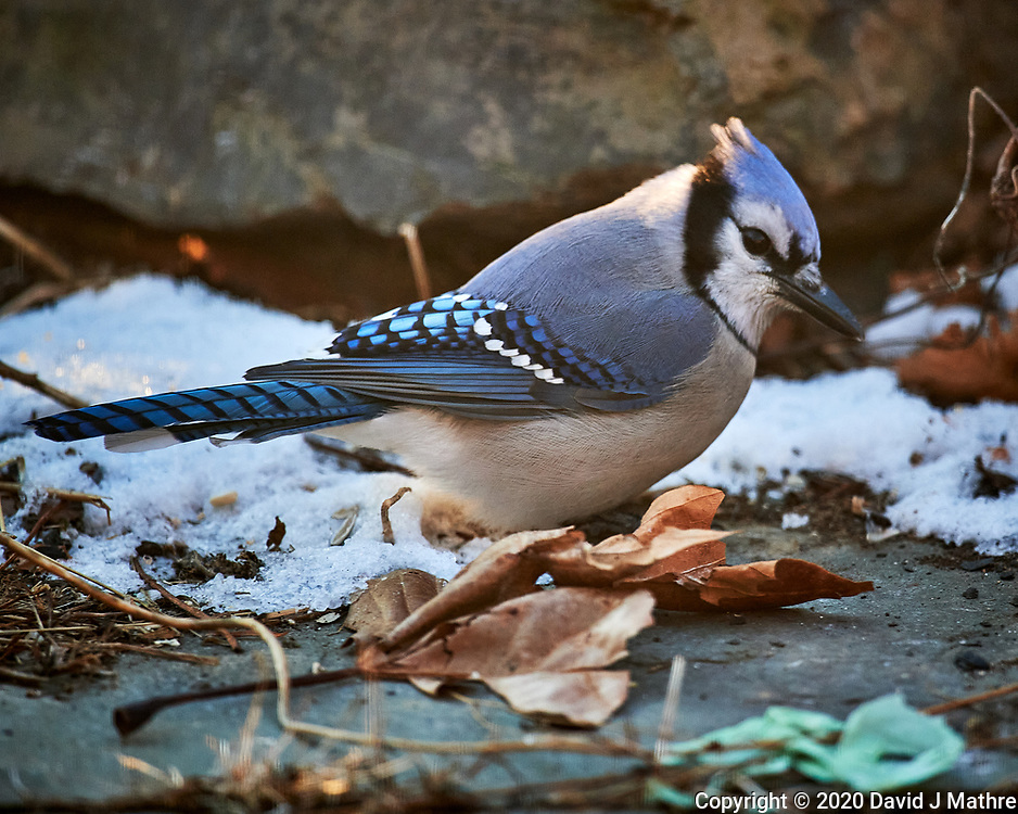 Blue Jay. Image taken with a Nikon D5 camera and 600 mm f/4 VR lens (ISO 1600, 600 mm, f/4, 1/640 sec)