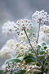 Ivy flowers on a frosty winter's morning. Hedera helix