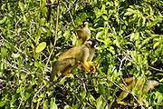 Wild black-capped squirrel monkey (Saimiri boliviensis)  Photographed in pampas del rio yacuma, Bolivia amazon rainforest