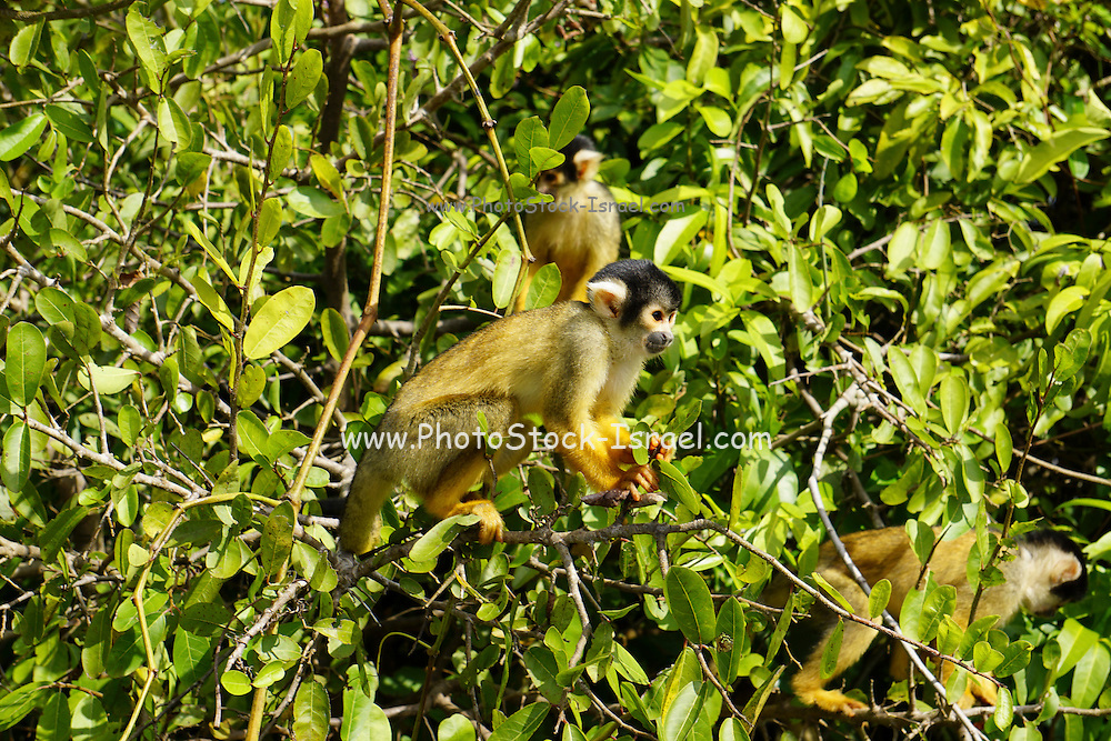 Wild black-capped squirrel monkey (Saimiri boliviensis)  Photographed in pampas del rio yacuma, Bolivia amazon rainforest