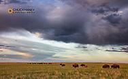 Bison herd with calves at sunrise at Fort Niobrara National Wildlife Refuge in Valentine, Nebraska, USA