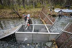 David Campbell (left) and Dylan Burbank, fish technicians for the non-profit Northern Southeast Regional Aquaculture Association, Inc. (NSRAA), harvest chum salmon at a temporary weir located on the man-made spawning channel of Herman Creek near Haines, Alaska. Captured fish are killed with small bats.<br /> <br /> NSRAA built the channel to collect wild broodstock by harvesting spawning female and male salmon for their eggs and milt to artificially spawn wild chum salmon. The eggs are fertilized with milt and placed in stream-side incubation boxes on Herman Creek and the Klehini River. In 2014, 2.4 million eggs were seeded into these incubation boxes. The 2013 incubation box survival rate was 90%. Without the artificial spawning, natural survival is said to be only 10%.<br /> <br /> Based in Sitka, Alaska, NSRAA conducts salmon enhancement projects in northern southeast Alaska. It is funded through a salmon enhancement tax (of three percent) and cost-recovery income. NSRAA also produces sockeye, chinook, and coho salmon.<br /> <br /> Male chum salmon return to Herman Creek to spawn with female chum salmon during the fall chum salmon run. The chum salmon return to freshwater Herman Creek, tributary of the Klehini River after living three to five years in the saltwater ocean. Spawning only once, chum salmon die approximately two weeks after they spawn. <br /> <br /> Chilkat River and Klehini River chum salmon are the primary food source for one of the largest gatherings of bald eagles in the world. Each fall, bald eagles congregate in the Alaska Chilkat Bald Eagle Preserve.