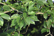 Hybrid Elm Ulmus 'Lobel' (Ulmaceae) HEIGHT to 35m<br /> Narrowly columnar tree with rather dense foliage. BARK Brown, cracking into small, square plates. BRANCHES Upright, straight and spreading at shallow angles. LEAVES Ovate to elliptical, dark green and shiny with a pointed tip and toothed margins; base is almost equal and upper surface of leaf is smooth. REPRODUCTIVE PARTS Papery fruits. STATUS AND DISTRIBUTION Widely planted. COMMENTS An artificial hybrid with a complex parentage that includes U. x hollandica.