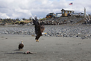 Bald eagles at Anchor River State Recreation Area, Alaska, USA<br /> <br /> Photographer: Christina Sjögren<br /> <br /> Copyright 2019, All Rights Reserved