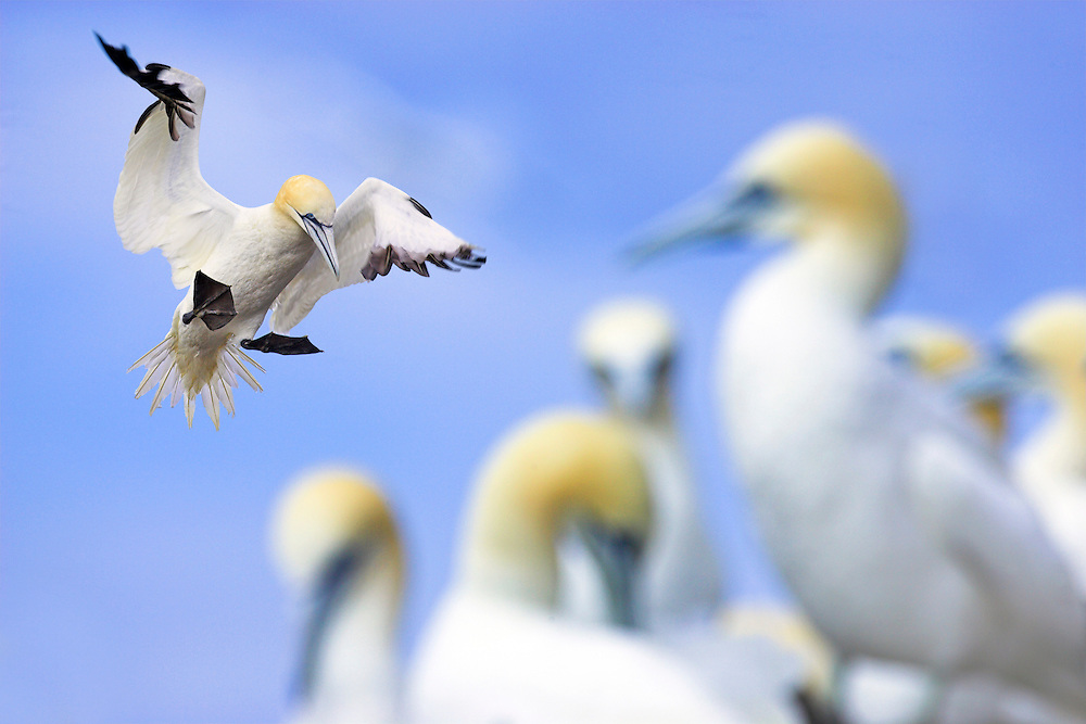 Gannets, Sula bassana, coming in to land with group in foreground, Bass Rock, Scotland