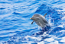 Pantropical Spotted Dolphin calf, Stenella attenuata, jumping out of boat wake, off Kona Coast, Big Island, Hawaii, Pacific Ocean.