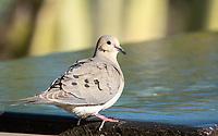 A Mourning Dove, Zenaida macroura, perches on a fountain in the Desert Botanical Garden, Phoenix, Arizona