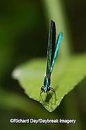 06014-002.01 Ebony Jewelwing (Calopteryx maculata) male, Lawrence Co. IL