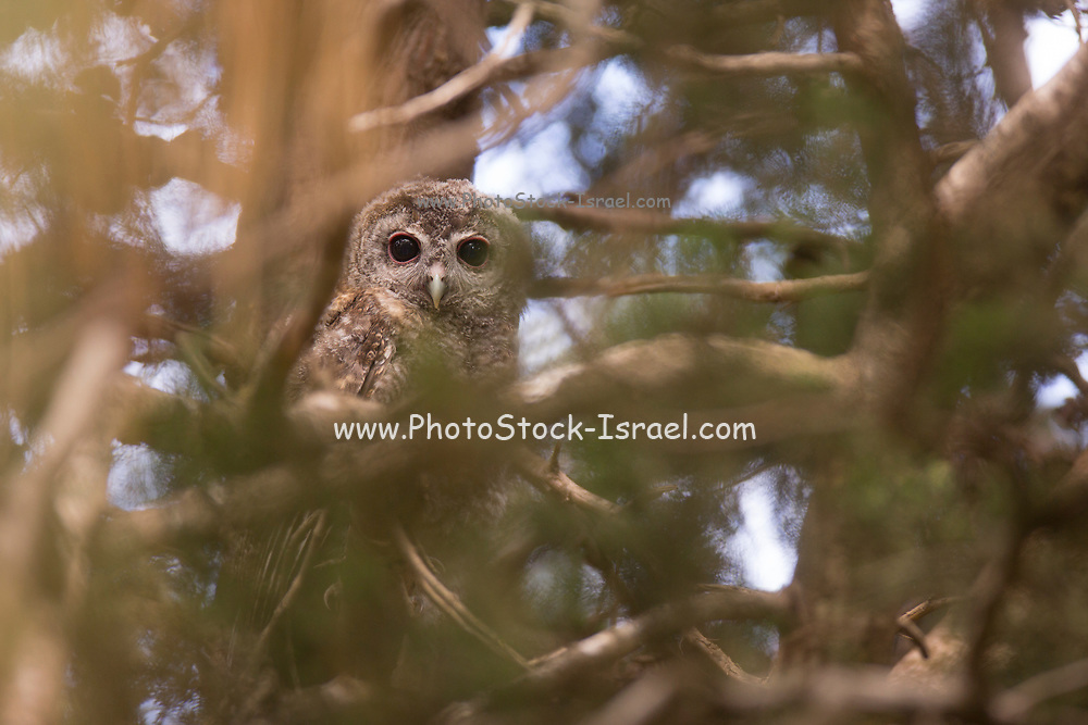Juvenile Tawny Owl or Brown Owl (Strix aluco) Photographed in Israel