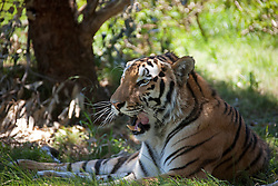 Snarling tiger (Panthera tigris) lies in the shadow, South Africa