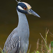 Yellow crowned night heron in breeding plumage, photographed at Ding Darling NWR on Florida's Gulf coast.