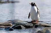 Gentoo Penguin (Pygoscelis papua) at Cuverville Island, Antarctica