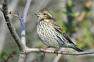 Purple Finch - Carpodacus purpureus - Adult female