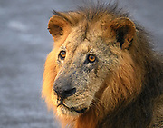 The tight portrait on this male lion shows the dignity of his age and the grace of his manner.
