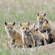 Red Fox, (Vulpus fulva) Sibling kits, one kissing another. Spring. Montana.