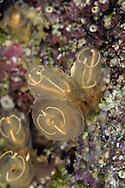 Orange Lights Sea Squirt - Pycnoclavella aurilucens