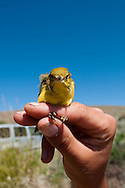 A female Yellow Warbler (Dendroica petechia) about to be released after being captured with a mist net and banded by students of a field Ornithology Program on Hart Mountain National Antelope Wildlife Refuge, Southeastern Oregon