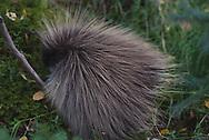 A porcupine seen in Katmai National Park, Alaska