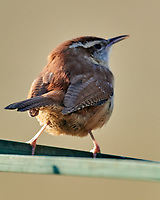 Carolina Wren (Thryothorus ludovicianus). Image taken with a Nikon D800 camera and 600 mm f/4 VR lens.
