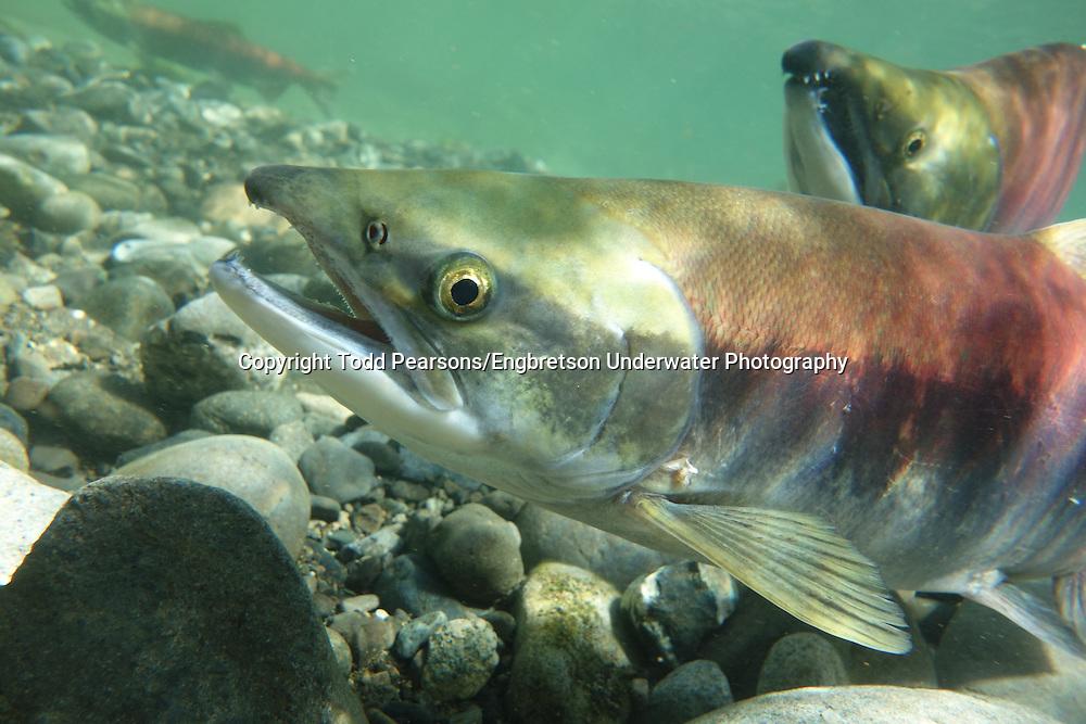 Sockeye Salmon (spawning)<br /> <br /> Todd Pearsons/Engbretson Underwater Photography