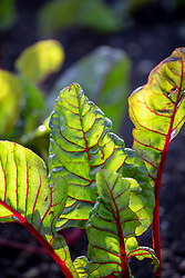 Beta vulgaris - Ruby chard, Rhubarb chard, Red stemmed chard