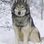 Gray Wolf portrait of an adult during the winter. Captive Animal