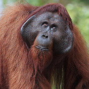 Asia, Borneo, Indonesia, Orangutan, animal, animals, endangered, forest, fur, hair, hairy, jungle, large, male, mammal, nature, orange, primate, rainforest, wild, wildlife