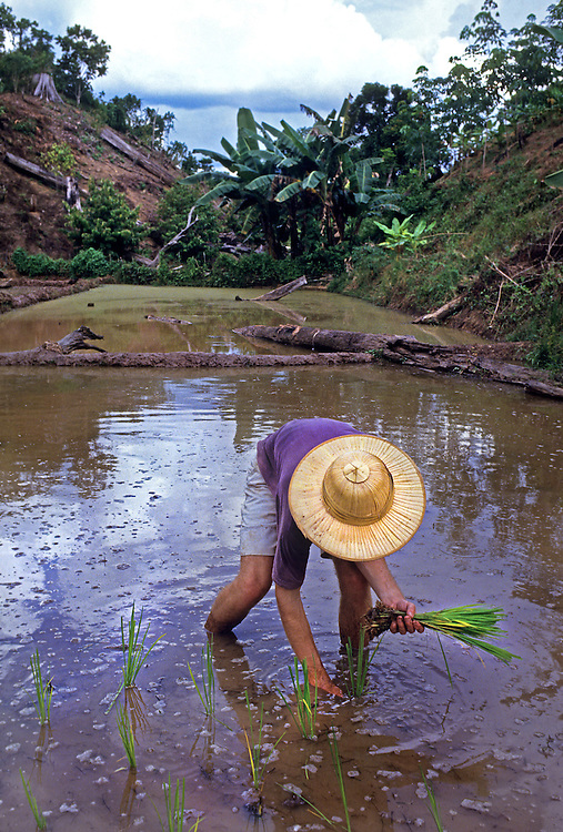 Planting rice, Paddy field, Borneo<br /> Client Raleigh International