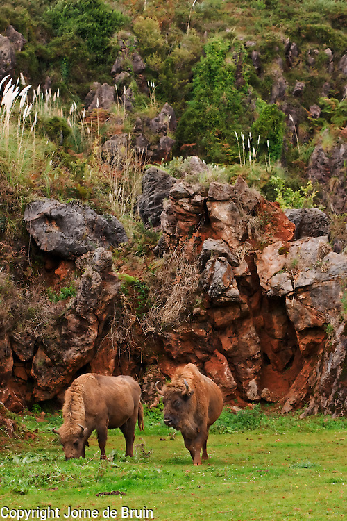 Two male Bison are grazing in the Wildlife Park of Cabárceno in Spain.