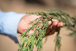 """26 January 2019, Ethiopia: This conifer, called """"Gatera"""" in the local language Oromifa, is used as a Christmas tree by many Ethiopians."""