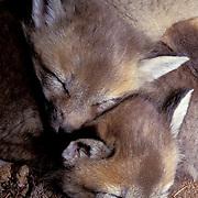 Red Fox, (Vulpus fulva) Portrait of young kits in den.  Captive Animal.