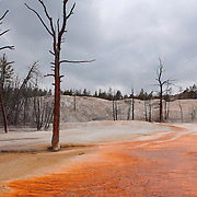 Dead Trees - Mammoth Terrace Hot Springs - Yellowstone National Park